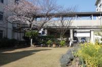 中庭にて「桜と菜の花」